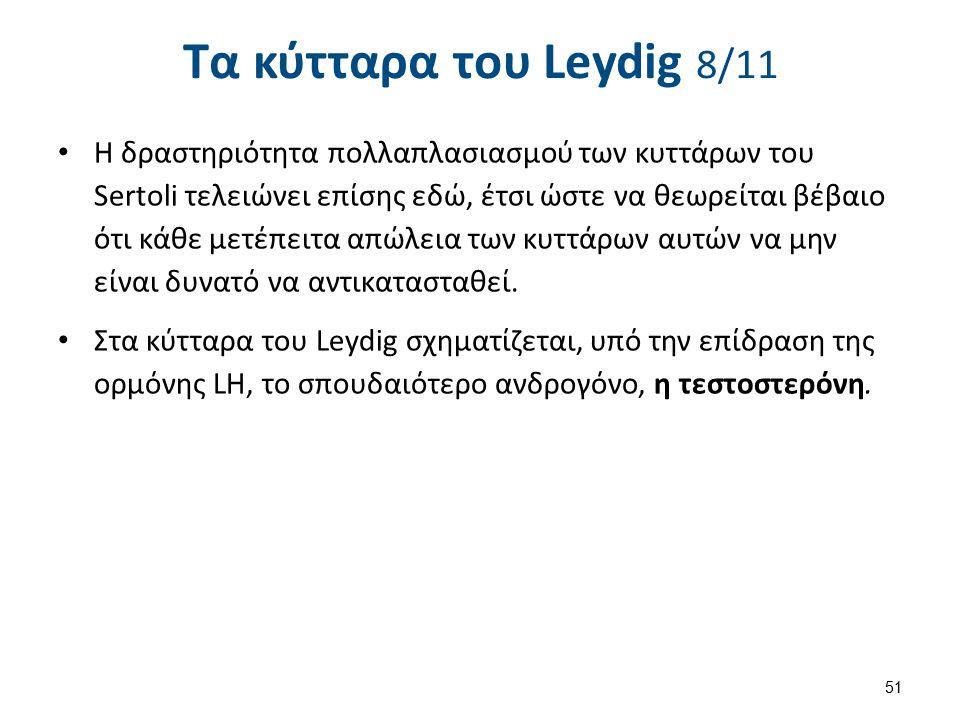 Τα κύτταρα του Leydig 8/11 Η δραστηριότητα πολλαπλασιασμού των κυττάρων του Sertoli τελειώνει επίσης εδώ, έτσι ώστε να θεωρείται βέβαιο ότι κάθε μετέπ