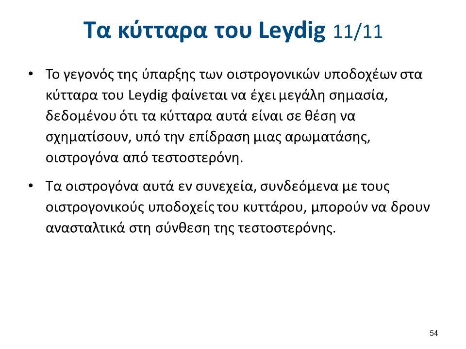 Τα κύτταρα του Leydig 11/11 Το γεγονός της ύπαρξης των οιστρογονικών υποδοχέων στα κύτταρα του Leydig φαίνεται να έχει μεγάλη σημασία, δεδομένου ότι τ