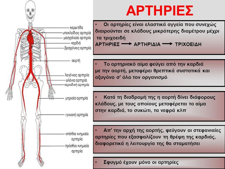 ΑΡΤΗΡΙΕΣ Οι αρτηρίες είναι ελαστικά αγγεία που συνεχώς διαιρούνται σε κλάδους μικρότερης διαμέτρου μέχρι τα τριχοειδή ΑΡΤΗΡΙΕΣ ΑΡΤΗΡΙΔΙΑ ΤΡΙΧΟΕΙΔΗ Το αρτηριακό αίμα φεύγει από την καρδιά με την αορτή, μεταφέρει θρεπτικά συστατικά και οξυγόνο σ όλο τον οργανισμό Κατά τη διαδρομή της η αορτή δίνει διάφορους κλάδους, με τους οποίους μεταφέρεται το αίμα στην καρδιά, το συκώτι, τα νεφρά κλπ Απ την αρχή της αορτής, φεύγουν οι στεφανιαίες αρτηρίες που εξασφαλίζουν τη θρέψη της καρδιάς, διαφορετικά η λειτουργία της θα σταματήσει Σφυγμό έχουν μόνο οι αρτηρίες