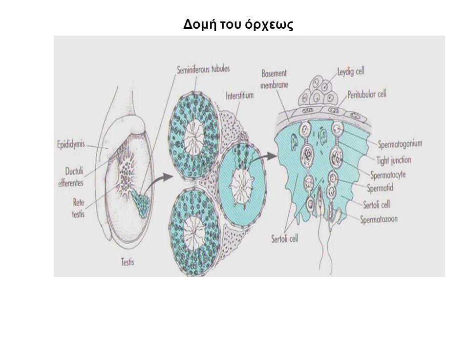 Ορμόνες των όρχεων Ανδρογόνα τεστοστερόνη ανδροστενδιόνη δευδροεπιανδροστερόνη (DHEA) διυδροτεστοστερόνη (DHT) Οιστρογόνα οιστρόνη οιστραδιόλη Ανασταλτίνες Ακαι Β Ακτιβίνες Α, Β και ΑΒ