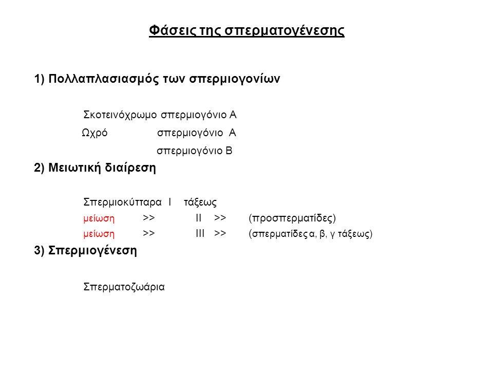 Φάσεις της σπερματογένεσης 1) Πολλαπλασιασμός των σπερμιογονίων Σκοτεινόχρωμο σπερμιογόνιο Α Ωχρό σπερμιογόνιο Α σπερμιογόνιο Β 2) Μειωτική διαίρεση Σπερμιοκύτταρα Ι τάξεως μείωση >> ΙΙ >> (προσπερματίδες) μείωση >> ΙΙΙ >> ( σπερματίδες α, β, γ τάξεως) 3) Σπερμιογένεση Σπερματοζωάρια