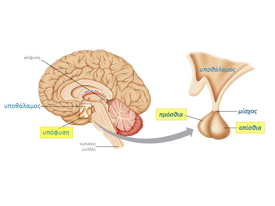 υποθάλαμος επίφυση υπόφυση υποθάλαμος νωτιαίος μυελός πρόσθια οπίσθια μίσχος