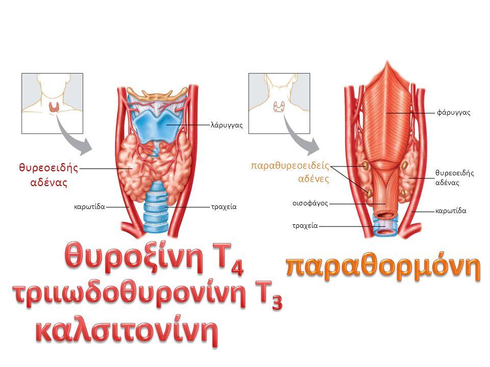 λάρυγγας τραχεία θυρεοειδής αδένας καρωτίδα τραχεία φάρυγγας παραθυρεοειδείς αδένες θυρεοειδής αδένας καρωτίδα οισοφάγος