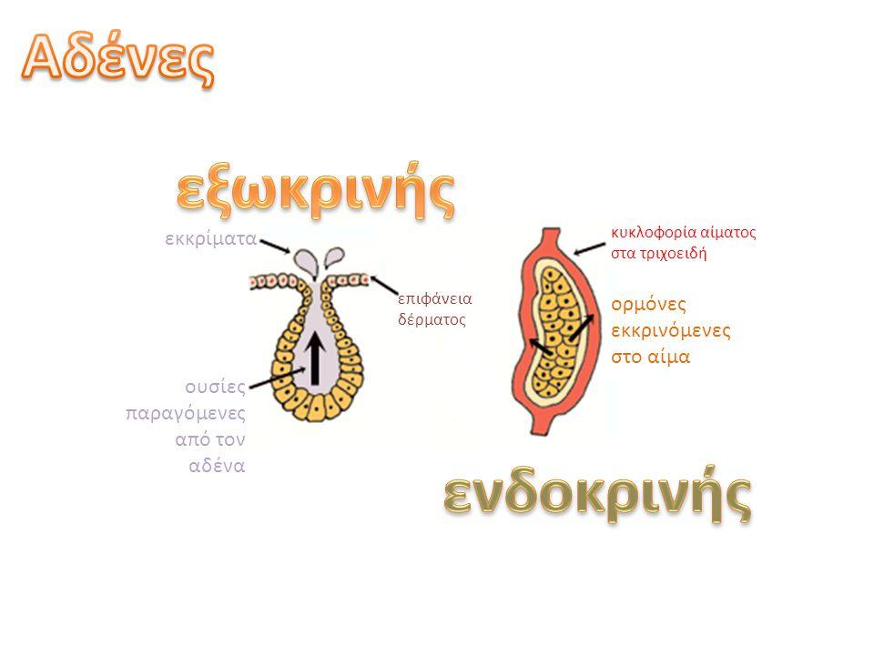υποθάλαμος πρόσθια υπόφυση οπίσθια υπόφυση ορμόνες ενδοκρινικό κύτταρο νευροεκκριτικά κύτταρα αρτηρία φλέβα πυλαία φλέβα δίκτυο τριχοειδών