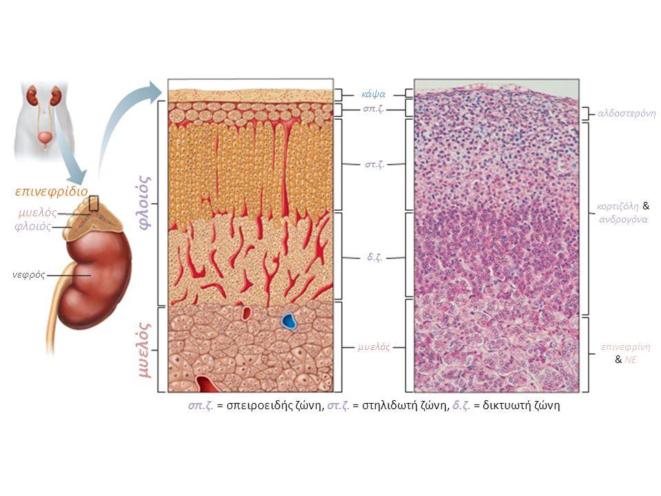 επινεφρίδια επινεφρίδια επινεφρίδιο νεφρός φλοιός μυελός φλοιός κάψα σπ.ζ. στ.ζ. δ.ζ. μυελός σπ.ζ. = σπειροειδής ζώνη, στ.ζ. = στηλιδωτή ζώνη, δ.ζ. =