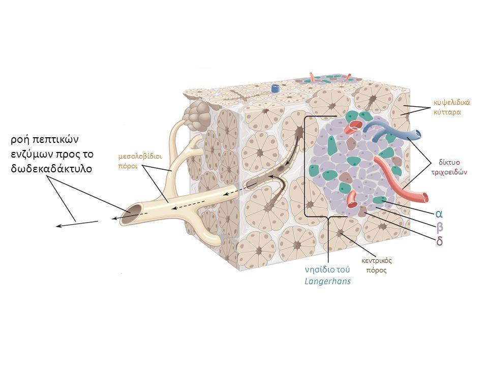 ροή πεπτικών ενζύμων προς το δωδεκαδάκτυλο μεσολοβίδιοι πόροι δίκτυοτριχοειδώνδίκτυοτριχοειδών κεντρικός πόρος νησίδιο τού Langerhans κυψελιδικά κύττα