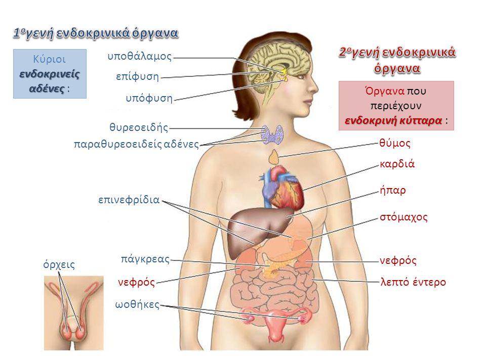 υποθάλαμος επίφυση υπόφυση θυρεοειδής παραθυρεοειδείς αδένες επινεφρίδια πάγκρεας νεφρός ωοθήκες όρχεις λεπτό έντερο στόμαχος ήπαρ καρδιά θύμος ενδοκρ