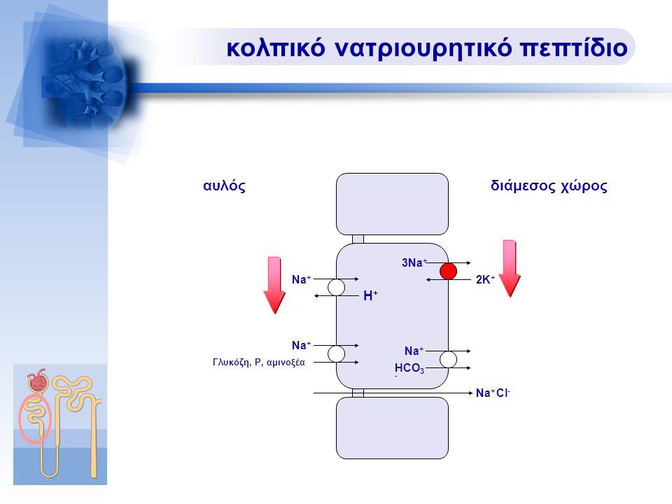 κολπικό νατριουρητικό πεπτίδιο Na + Na + Cl - Na + H+H+ HCO 3 - Γλυκόζη, P, αμινοξέα αυλόςδιάμεσος χώρος 3Na + 2K+2K+