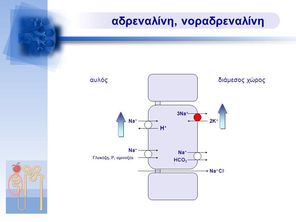 αδρεναλίνη, νοραδρεναλίνη Na + Na + Cl - Na + 3Na + H+H+ HCO 3 - 2K+2K+ Γλυκόζη, P, αμινοξέα αυλόςδιάμεσος χώρος