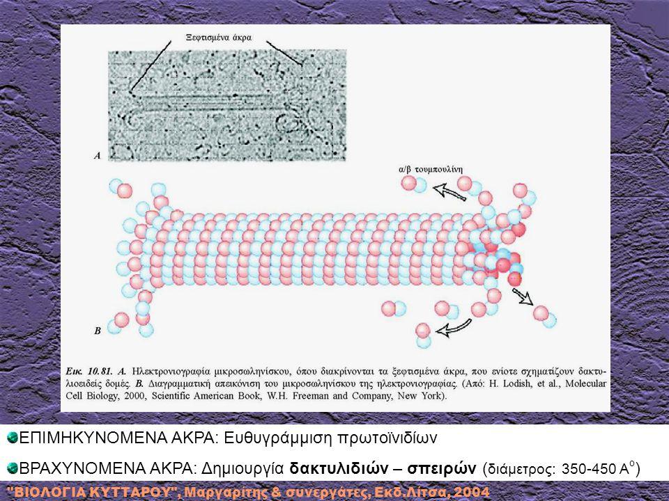 ΕΠΙΜΗΚΥΝΟΜΕΝΑ ΑΚΡΑ: Ευθυγράμμιση πρωτοϊνιδίων ΒΡΑΧΥΝΟΜΕΝΑ ΑΚΡΑ: Δημιουργία δακτυλιδιών – σπειρών ( διάμετρος: 350-450 Α ο )