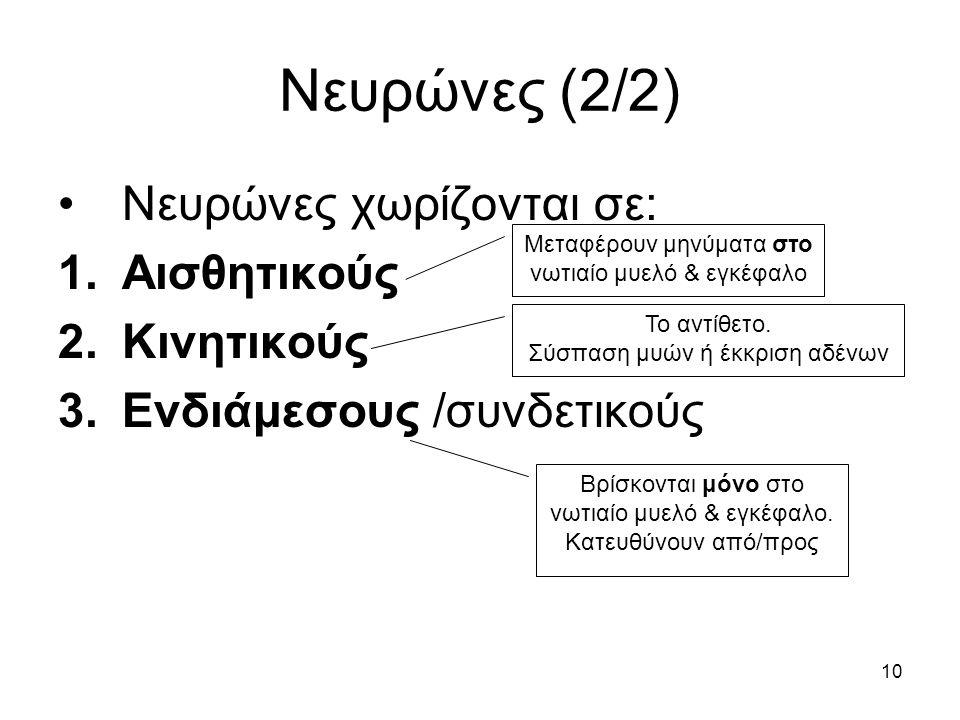 10 Νευρώνες (2/2) Νευρώνες χωρίζονται σε: 1.Αισθητικούς 2.Κινητικούς 3.Ενδιάμεσους /συνδετικούς Μεταφέρουν μηνύματα στο νωτιαίο μυελό & εγκέφαλο Το αντίθετο.