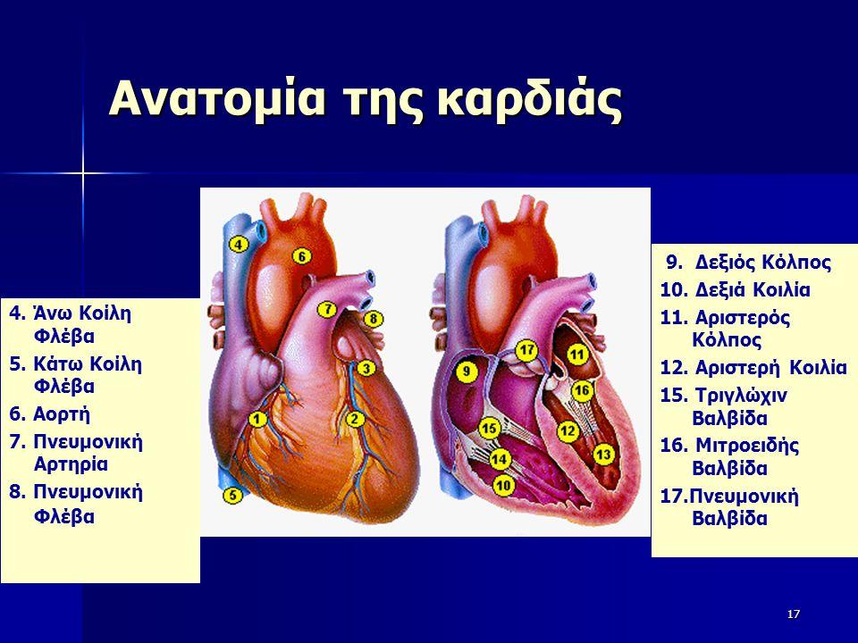 Ανατομία της καρδιάς 4. Άνω Κοίλη Φλέβα 5. Κάτω Κοίλη Φλέβα 6. Αορτή 7. Πνευμονική Αρτηρία 8. Πνευμονική Φλέβα 17 9. Δεξιός Κόλπος 10. Δεξιά Κοιλία 11