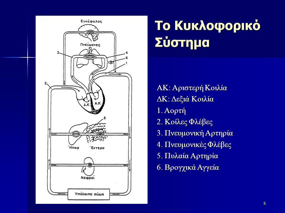 Το Κυκλοφορικό Σύστημα 5 ΑΚ: Αριστερή Κοιλία ΔΚ: Δεξιά Κοιλία 1. Αορτή 2. Κοίλες Φλέβες 3. Πνευμονική Αρτηρία 4. Πνευμονικές Φλέβες 5. Πυλαία Αρτηρία