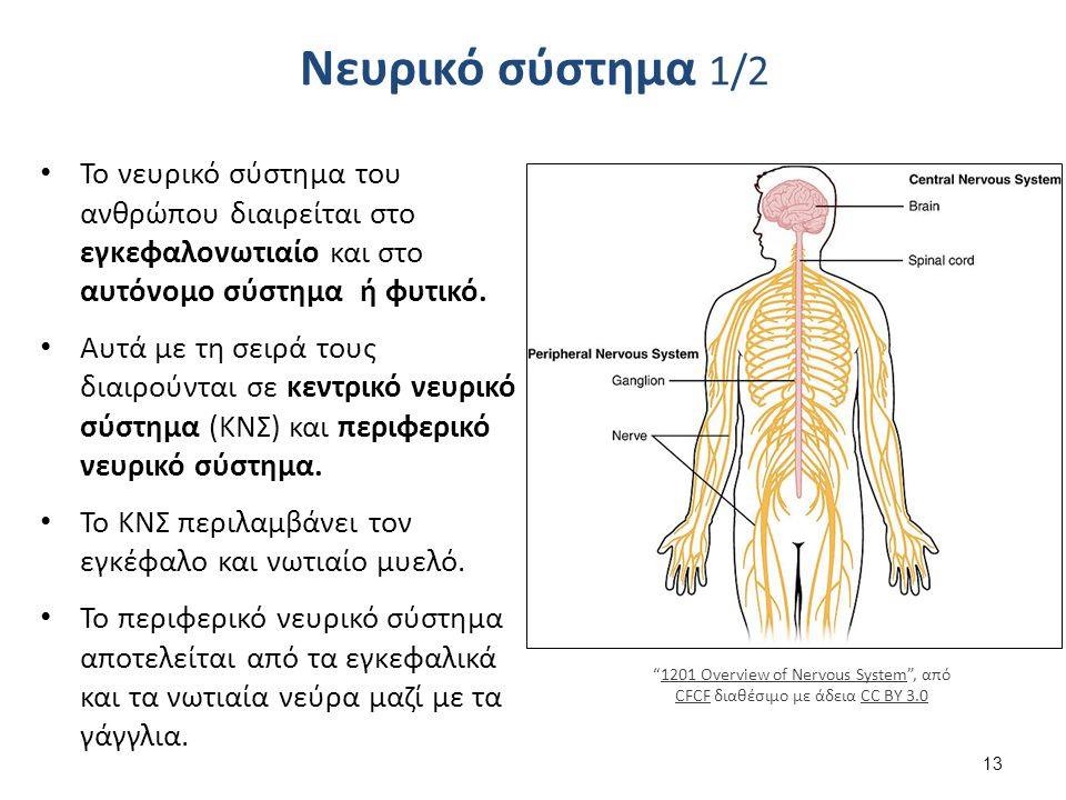 Νευρικό σύστημα 1/2 Το νευρικό σύστημα του ανθρώπου διαιρείται στο εγκεφαλονωτιαίο και στο αυτόνομο σύστημα ή φυτικό. Αυτά με τη σειρά τους διαιρούντα