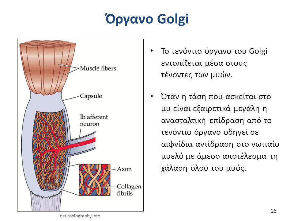 Όργανο Golgi Το τενόντιο όργανο του Golgi εντοπίζεται μέσα στους τένοντες των μυών. Όταν η τάση που ασκείται στο μυ είναι εξαιρετικά μεγάλη η ανασταλτ