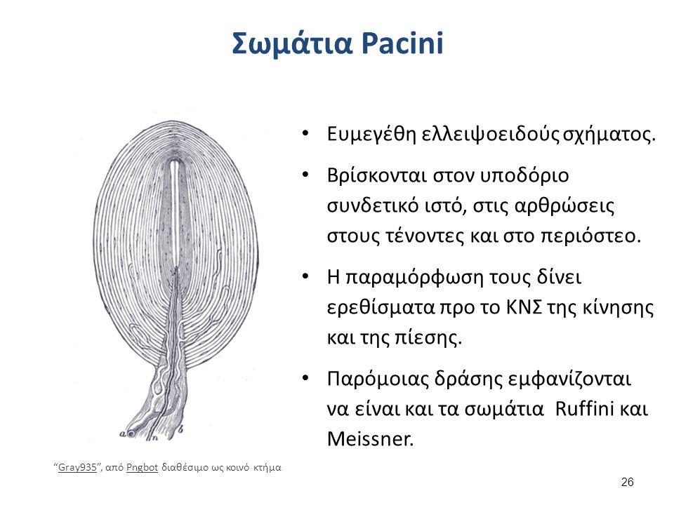 Σωμάτια Pacini Ευμεγέθη ελλειψοειδούς σχήματος. Βρίσκονται στον υποδόριο συνδετικό ιστό, στις αρθρώσεις στους τένοντες και στο περιόστεο. Η παραμόρφωσ