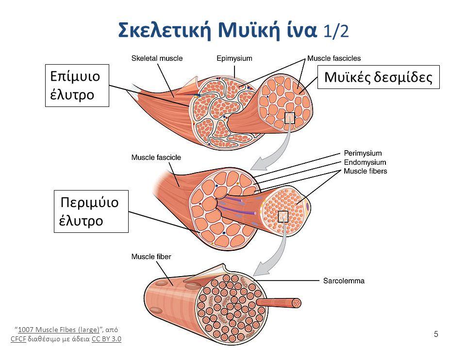 Σκελετική Μυϊκή ίνα 2/2 Blausen 0801 SkeletalMuscle , από BruceBlaus διαθέσιμο με άδεια CC BY 3.0Blausen 0801 SkeletalMuscleBruceBlausCC BY 3.0 Μυϊκά ινίδια Μιτοχόνδρια Σαρκόπλασμα Σαρκείλλημα 6