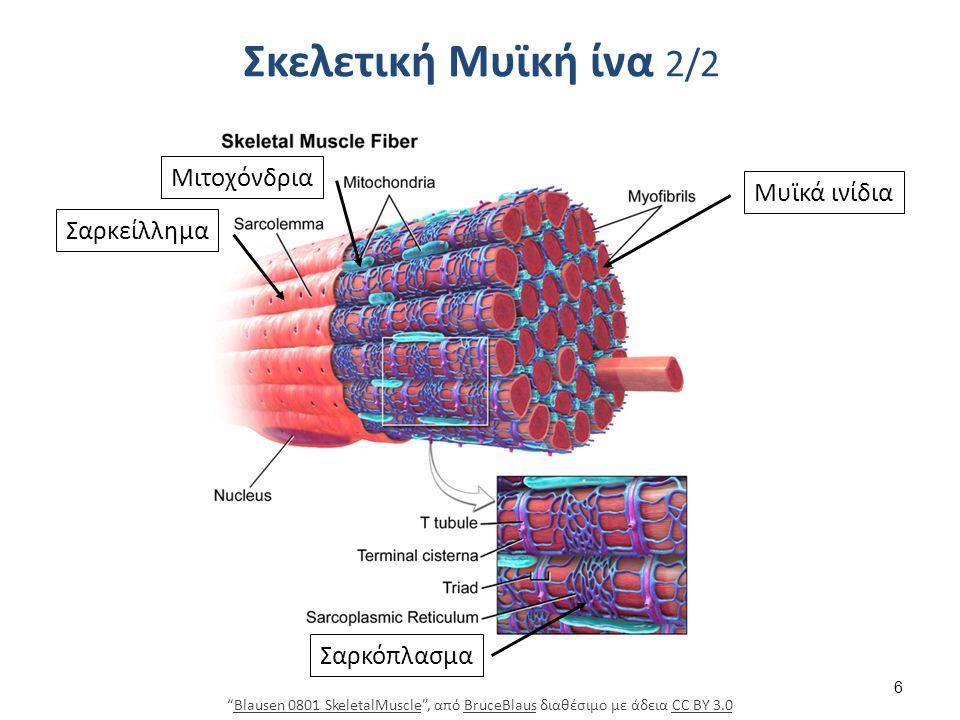 """Σκελετική Μυϊκή ίνα 2/2 """"Blausen 0801 SkeletalMuscle"""", από BruceBlaus διαθέσιμο με άδεια CC BY 3.0Blausen 0801 SkeletalMuscleBruceBlausCC BY 3.0 Μυϊκά"""
