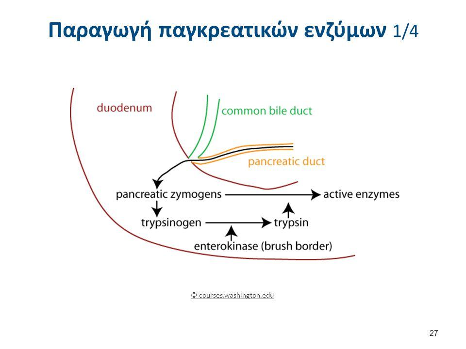 Παραγωγή παγκρεατικών ενζύμων 1/4 © courses.washington.edu 27