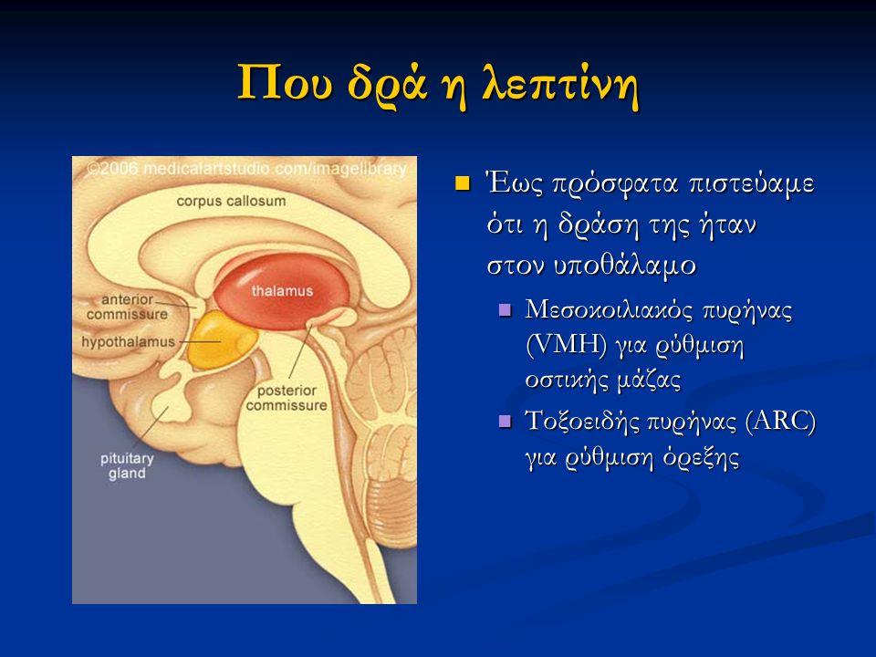 Που δρά η λεπτίνη Έως πρόσφατα πιστεύαμε ότι η δράση της ήταν στον υποθάλαμο Έως πρόσφατα πιστεύαμε ότι η δράση της ήταν στον υποθάλαμο Μεσοκοιλιακός πυρήνας (VMH) για ρύθμιση οστικής μάζας Μεσοκοιλιακός πυρήνας (VMH) για ρύθμιση οστικής μάζας Τοξοειδής πυρήνας (ARC) για ρύθμιση όρεξης Τοξοειδής πυρήνας (ARC) για ρύθμιση όρεξης
