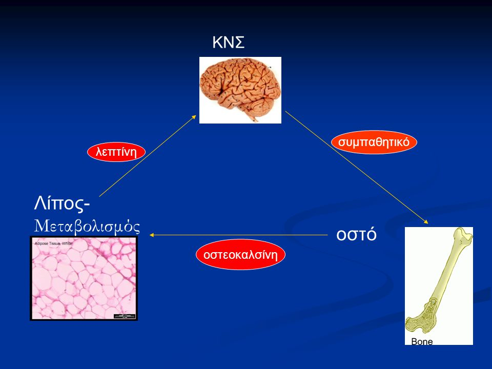 Λίπος- Μεταβολισμός ΚΝΣ οστό λεπτίνη συμπαθητικό οστεοκαλσίνη