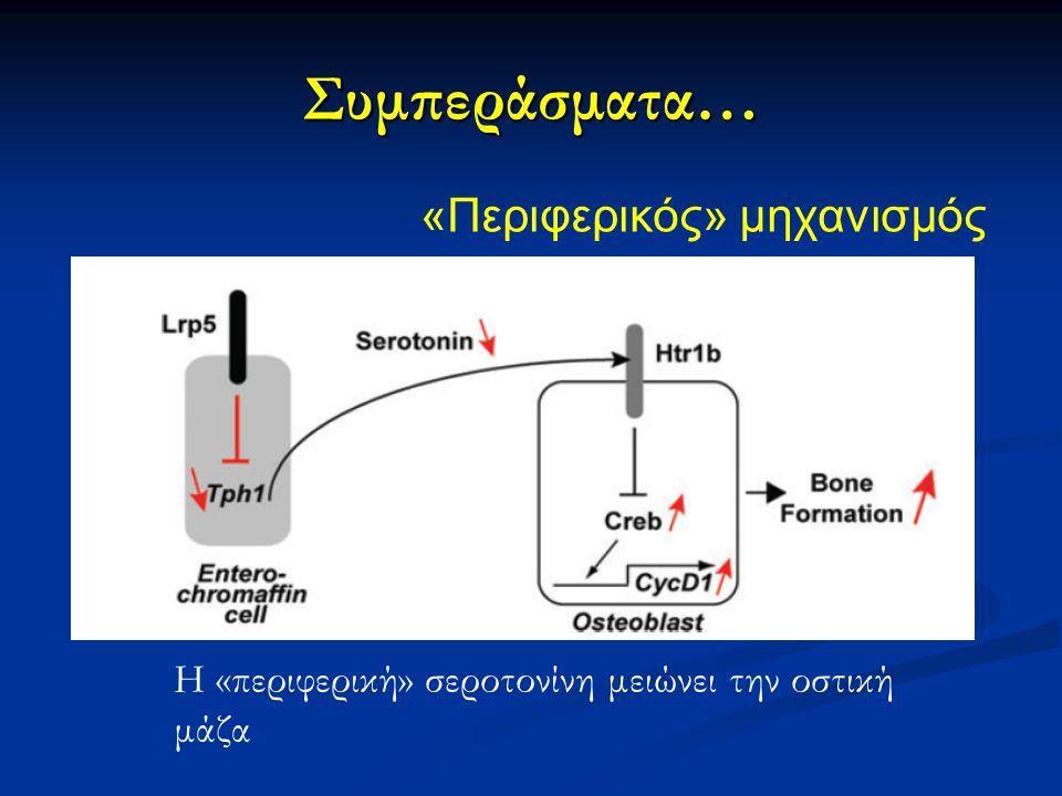 Συμπεράσματα… «Περιφερικός» μηχανισμός Η «περιφερική» σεροτονίνη μειώνει την οστική μάζα