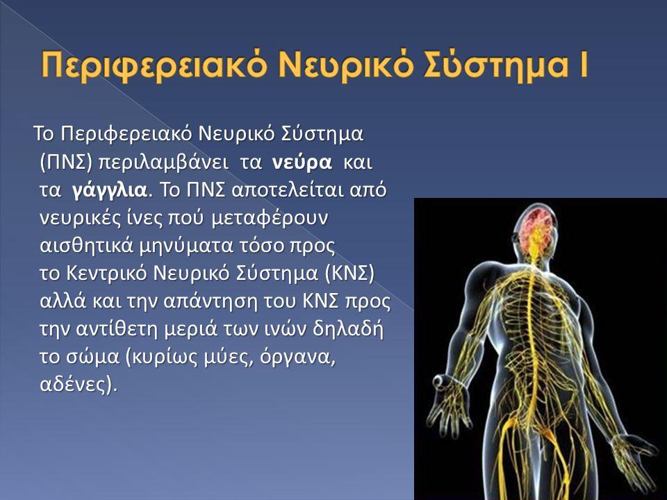 Το Περιφερειακό Νευρικό Σύστημα (ΠΝΣ) περιλαμβάνει τα νεύρα και τα γάγγλια. Το ΠΝΣ αποτελείται από νευρικές ίνες πού μεταφέρουν αισθητικά μηνύματα τόσ