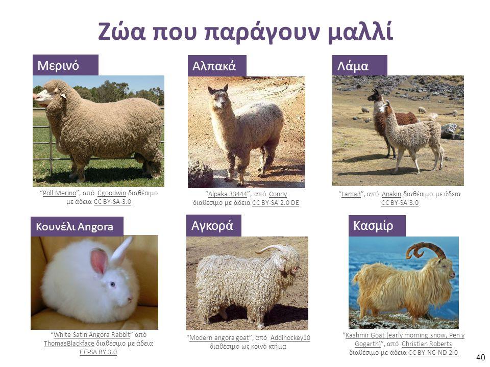 """Ζώα που παράγουν μαλλί Μερινό """"Poll Merino"""", από Cgoodwin διαθέσιμο με άδεια CC BY-SA 3.0Poll MerinoCgoodwinCC BY-SA 3.0 Αλπακά """"Alpaka 33444"""", από Co"""