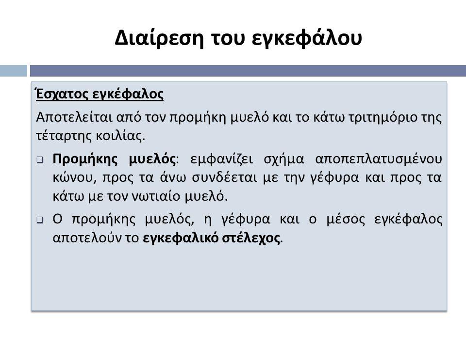 Έσχατος εγκέφαλος Α π οτελείται α π ό τον π ρομήκη μυελό και το κάτω τριτημόριο της τέταρτης κοιλίας.