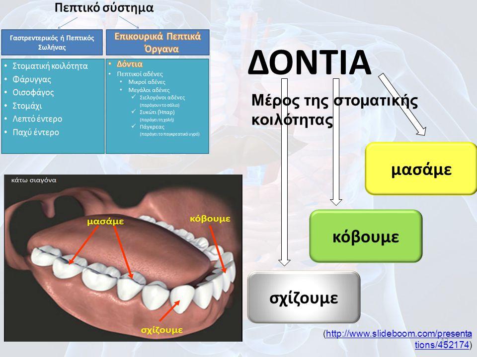 12 ΔΟΝΤΙΑ Μέρος της στοματικής κοιλότητας σχίζουμε κόβουμε μασάμε (http://www.slideboom.com/presenta tions/452174)http://www.slideboom.com/presenta ti