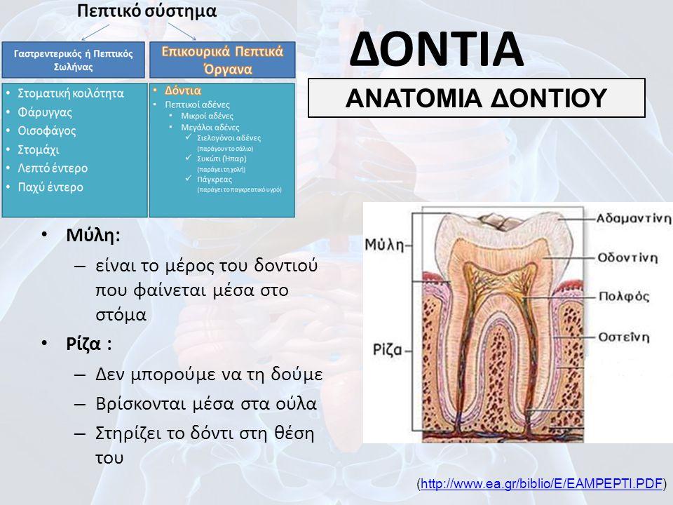 Μύλη: – είναι το μέρος του δοντιού που φαίνεται μέσα στο στόμα Ρίζα : – Δεν μπορούμε να τη δούμε – Βρίσκονται μέσα στα ούλα – Στηρίζει το δόντι στη θέ