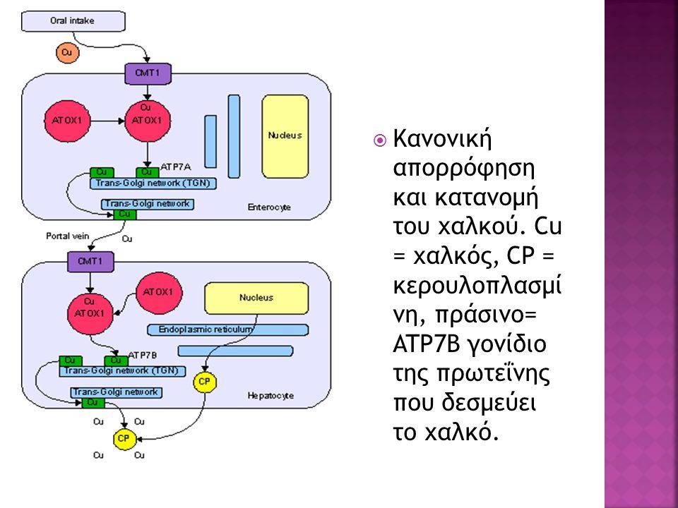  Κανονική απορρόφηση και κατανομή του χαλκού.