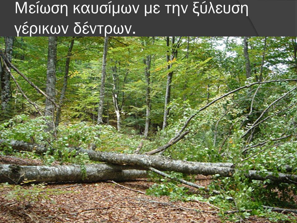 Μείωση καυσίμων με την ξύλευση γέρικων δέντρων.