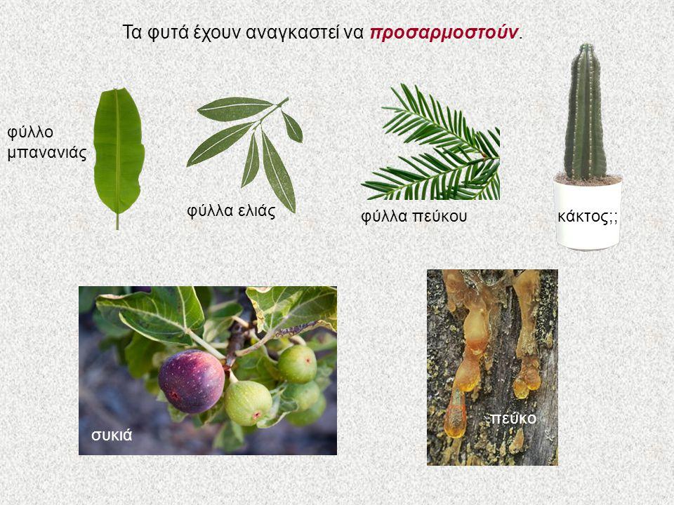 Τα φυτά έχουν αναγκαστεί να προσαρμοστούν. φύλλο μπανανιάς φύλλα ελιάς φύλλα πεύκου κάκτος;; συκιάπεύκο