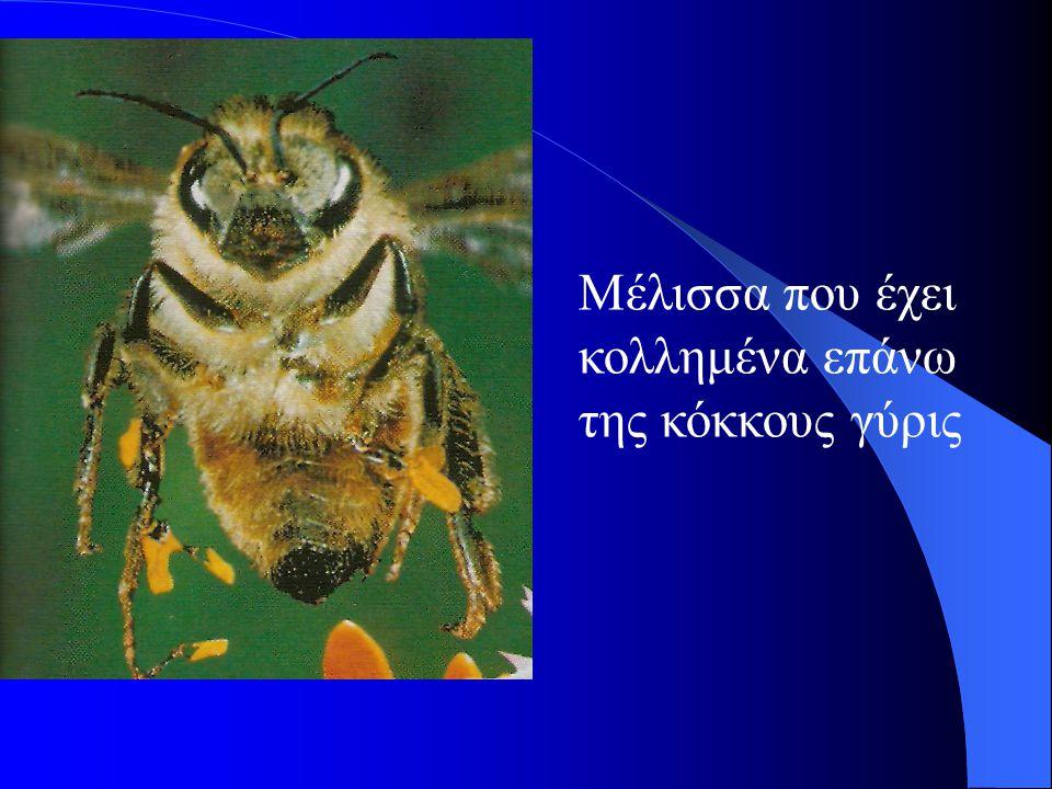 Μέλισσα που έχει κολλημένα επάνω της κόκκους γύρις
