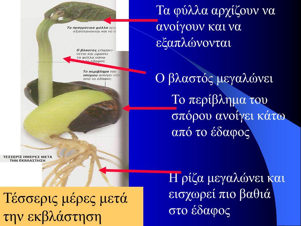 Τέσσερις μέρες μετά την εκβλάστηση Τα φύλλα αρχίζουν να ανοίγουν και να εξαπλώνονται Ο βλαστός μεγαλώνει Το περίβλημα του σπόρου ανοίγει κάτω από το έ