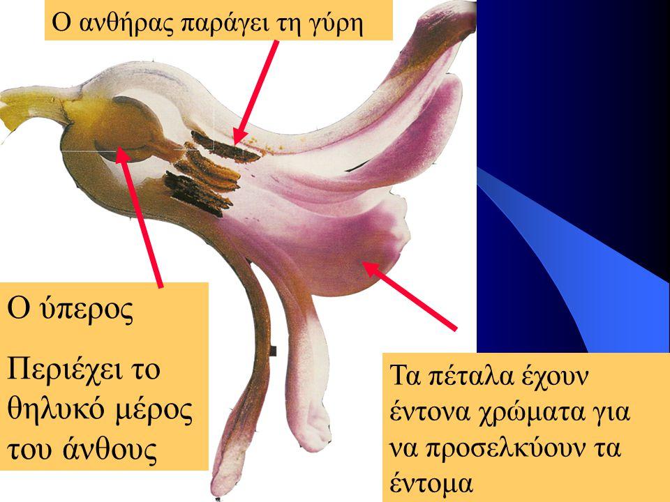 Τα πέταλα έχουν έντονα χρώματα για να προσελκύουν τα έντομα Ο ύπερος Περιέχει το θηλυκό μέρος του άνθους Ο ανθήρας παράγει τη γύρη