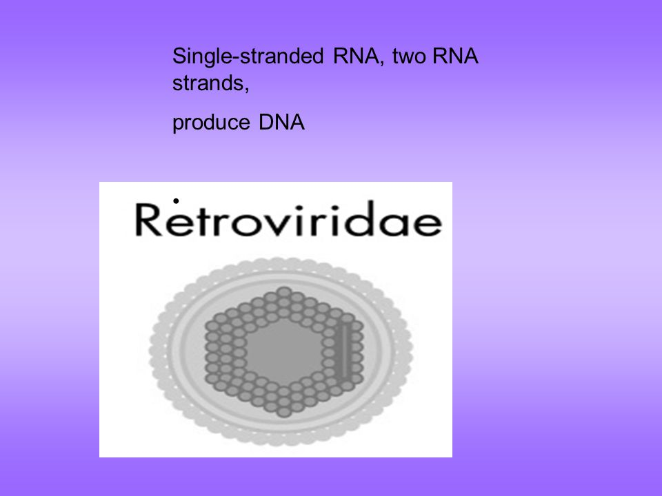Single-stranded RNA, two RNA strands, produce DNA