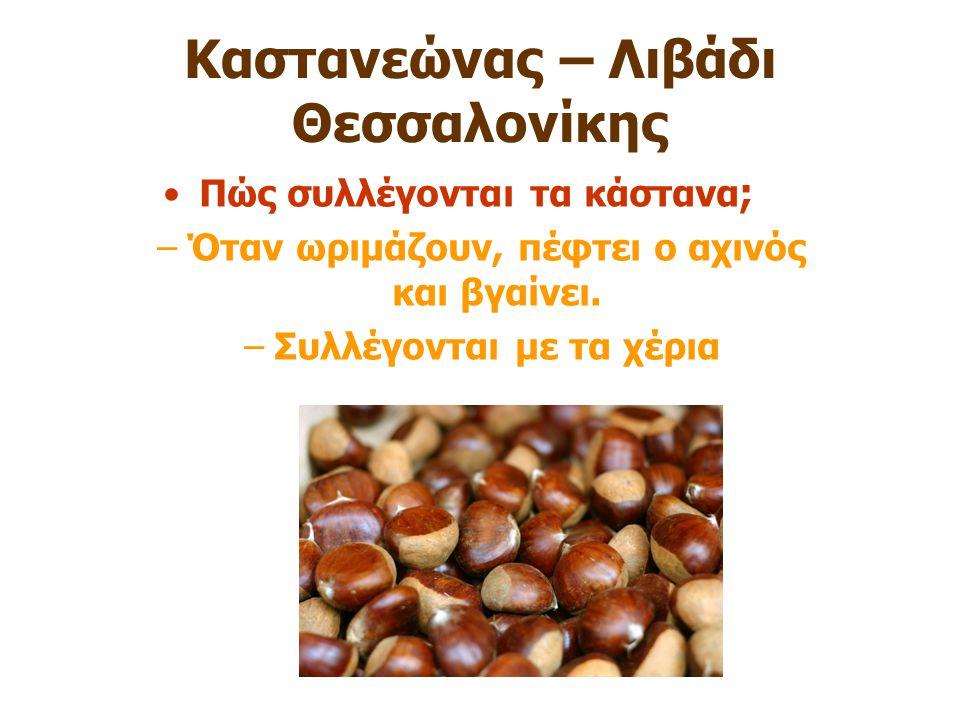 Καστανεώνας – Λιβάδι Θεσσαλονίκης Πώς συλλέγονται τα κάστανα ; –Όταν ωριμάζουν, πέφτει ο αχινός και βγαίνει. –Συλλέγονται με τα χέρια