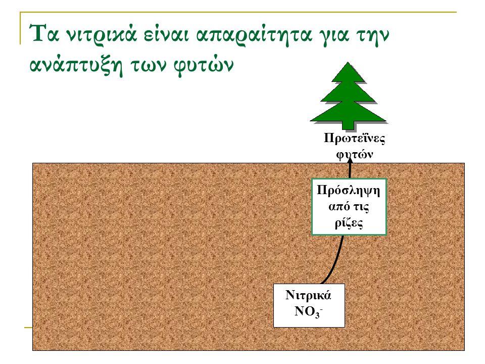 Τα νιτρικά είναι απαραίτητα για την ανάπτυξη των φυτών Πρόσληψη από τις ρίζες Νιτρικά NO 3 - Πρωτεΐνες φυτών