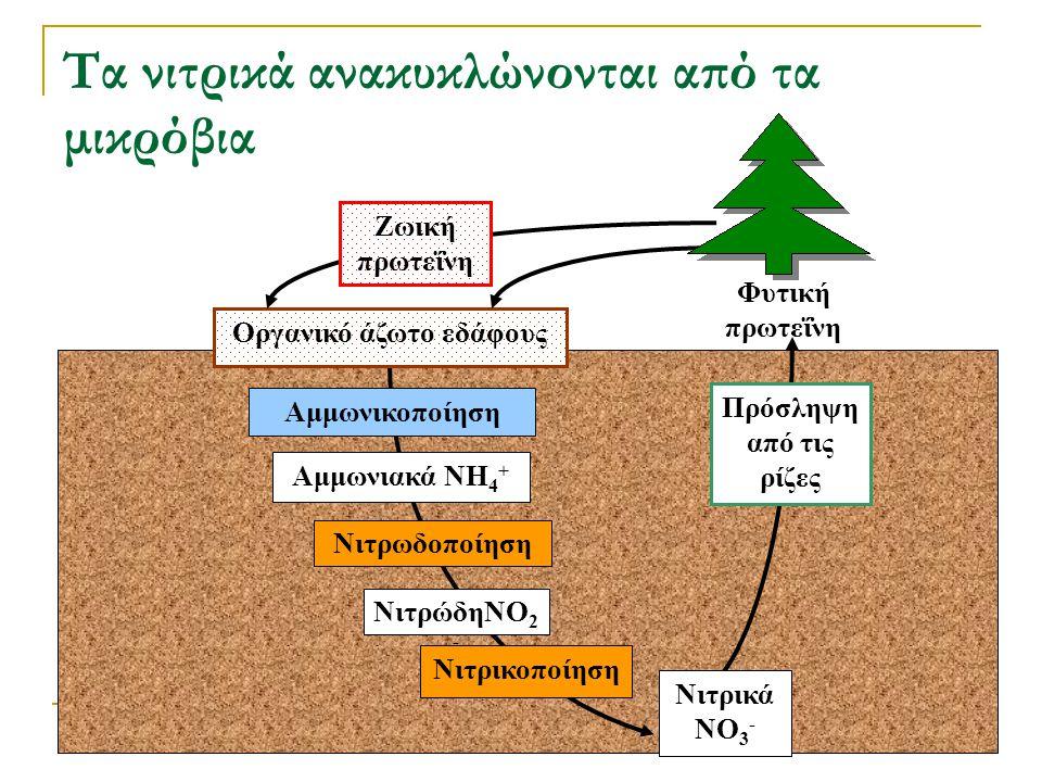 Τα νιτρικά ανακυκλώνονται από τα μικρόβια Νιτρικοποίηση Νιτρωδοποίηση Αμμωνιακά NH 4 + Αμμωνικοποίηση ΝιτρώδηNO 2 - Οργανικό άζωτο εδάφους Ζωική πρωτε