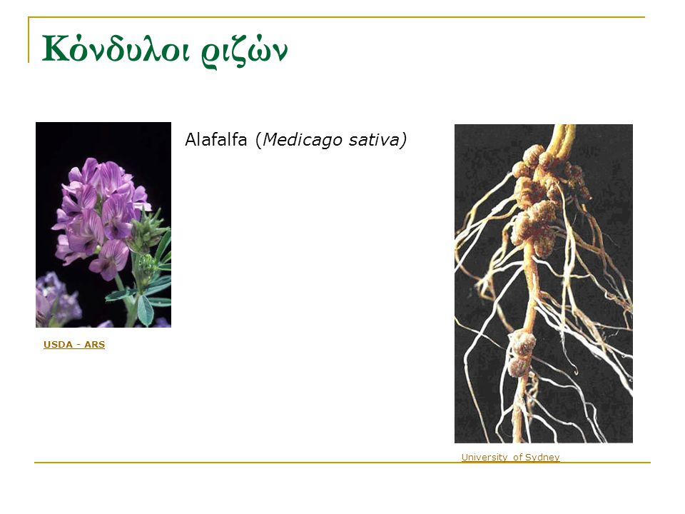 University of Sydney Alafalfa (Medicago sativa) USDA - ARS Κόνδυλοι ριζών
