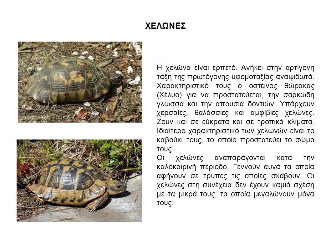 ΧΕΛΩΝΕΣ Η χελώνα είναι ερπετό. Ανήκει στην αρτίγονη τάξη της πρωτόγονης υφομοταξίας αναψιδωτά. Χαρακτηριστικό τους ο οστέινος θώρακας (Χέλυο) για να π
