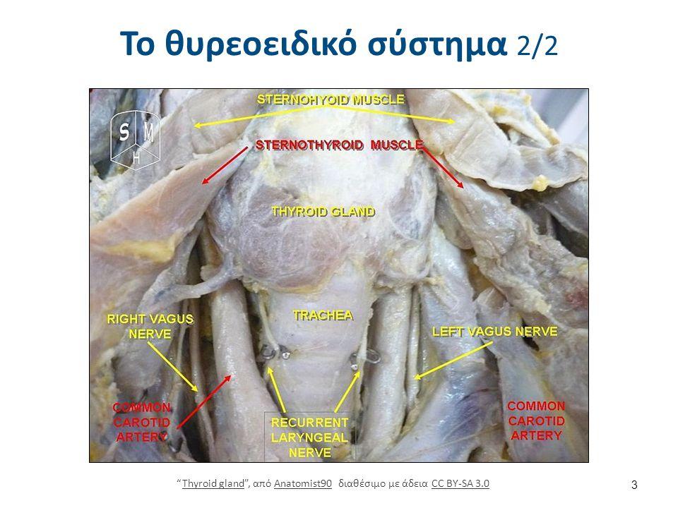 """Το θυρεοειδικό σύστημα 2/2 """"Thyroid gland"""", από Anatomist90 διαθέσιμο με άδεια CC BY-SA 3.0Thyroid glandAnatomist90CC BY-SA 3.0 3"""