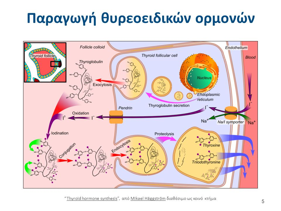 """Παραγωγή θυρεοειδικών ορμονών """"Thyroid hormone synthesis"""", από Mikael Häggström διαθέσιμο ως κοινό κτήμαThyroid hormone synthesisMikael Häggström 5"""