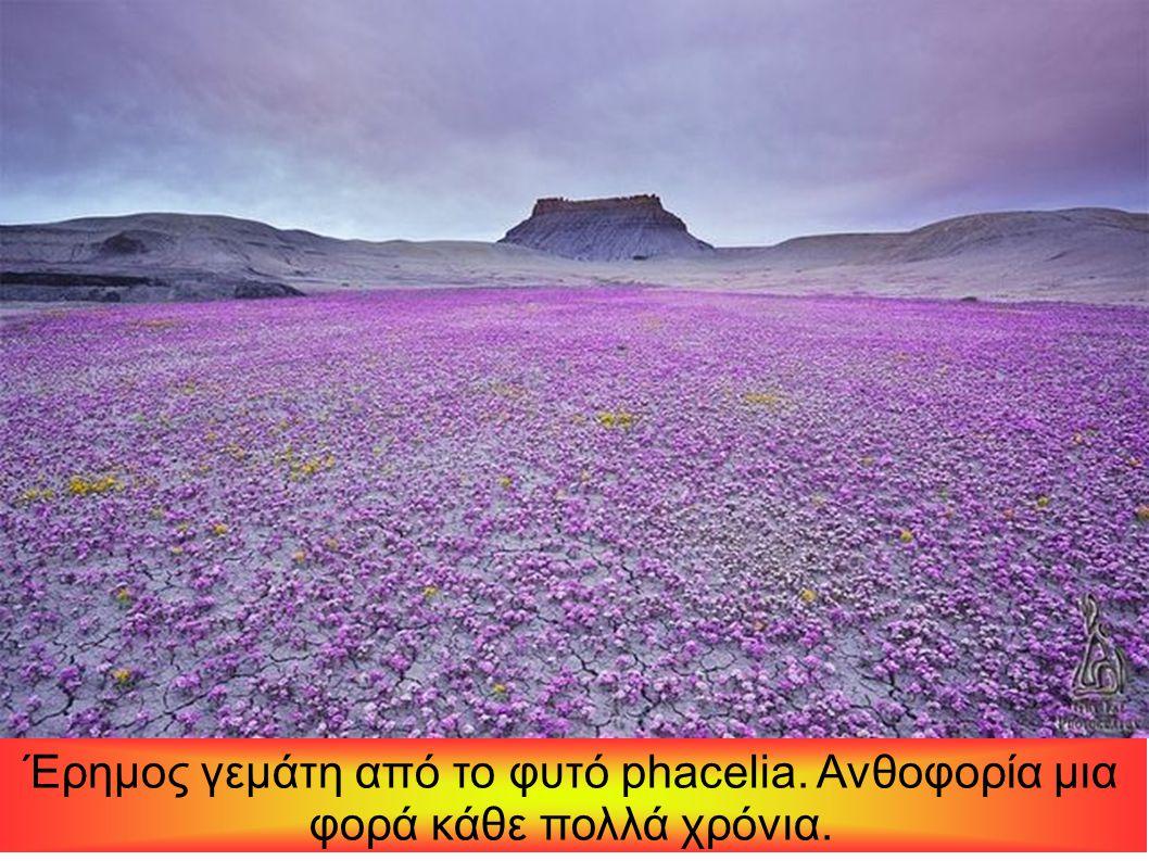 Έρημος γεμάτη από το φυτό phacelia. Ανθοφορία μια φορά κάθε πολλά χρόνια.