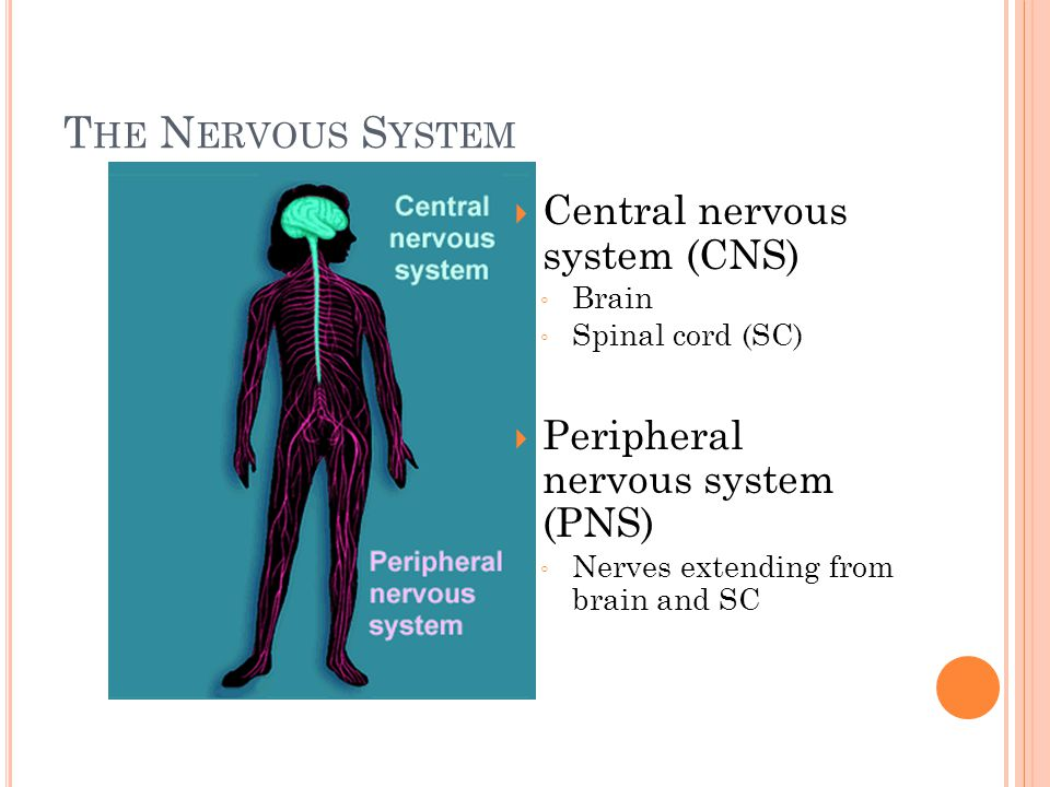 T HE N ERVOUS S YSTEM  Central nervous system (CNS) ◦ Brain ◦ Spinal cord (SC)  Peripheral nervous system (PNS) ◦ Nerves extending from brain and SC