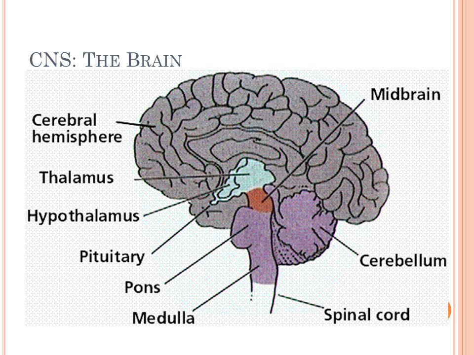 Τα εγκεφαλικά ημισφαίρια αποτελούνται από ένα εξωτερικό τμήμα, φλοιός ( φαιά ουσία ) που περιέχει σώματα κυττάρων και ένα εσωτερικό τμήμα ( λευκή ουσία ) που αποτελείται από νευράξονες που σχηματίζουν οδούς ή δεμάτια και από τις κοιλίες, που είναι χώροι γεμάτοι εγκεφαλονωτιαίο υγρό.