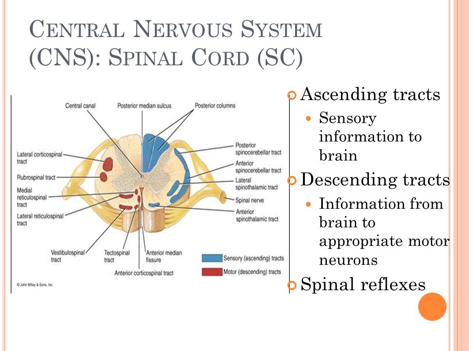 C ENTRAL N ERVOUS S YSTEM (CNS): S PINAL C ORD (SC) Ascending tracts Sensory information to brain Descending tracts Information from brain to appropri
