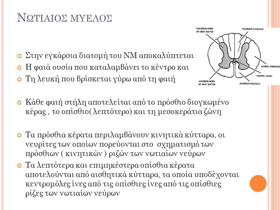 Ν ΩΤΙΑΙΟΣ Μ ΥΕΛΟΣ Στην εξωτερική του επιφάνεια παρουσιάζει δύο ογκώματα το αυχενικό ( κάτω από των χιασμό των πυραμίδων στον προμήκη) που τελειώνει στο ύψος του 2 ου θωρακικού και το οσφυΐκό που αρχίζει στο ύψος του 10 ου θωρακικού και τελειώνει στο μυελικό κώνο Η εξωτερική του επιφάνεια φέρει αύλακες Δια μέσου της λευκής ουσίας του ΝΜ ανεβαίνουν ( ανιούσες) και κατεβαίνουν ( κατιούσες) νευρικές οδοί.